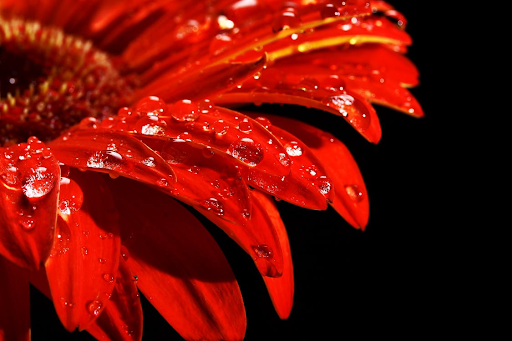 Close up of daisy with water droplets